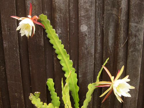 Flowering Cereus
