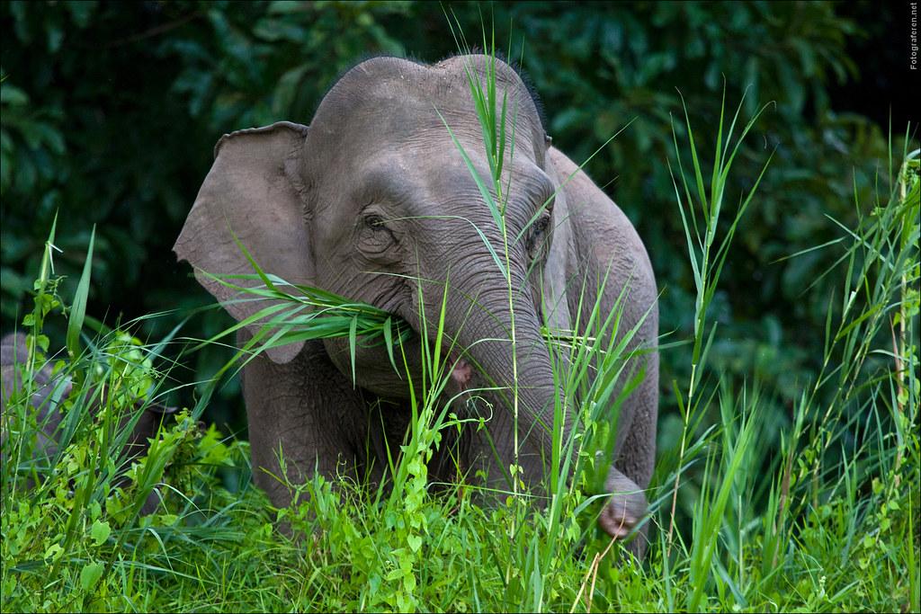 Matriarch Borneo or pygmee elephant [Elephas maximus borneensis] at Kinabatangan river
