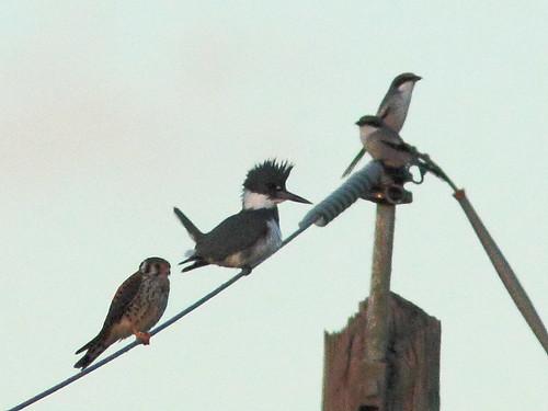 Kestrel kingfisher and shrikes 20111127