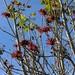 Western Coral-bean (Erythina flabelliformis - Chilcote - Colorín); cerca de Santa María Teposlantongo (Región Mixteca), Oaxaca, Mexico por Lon&Queta