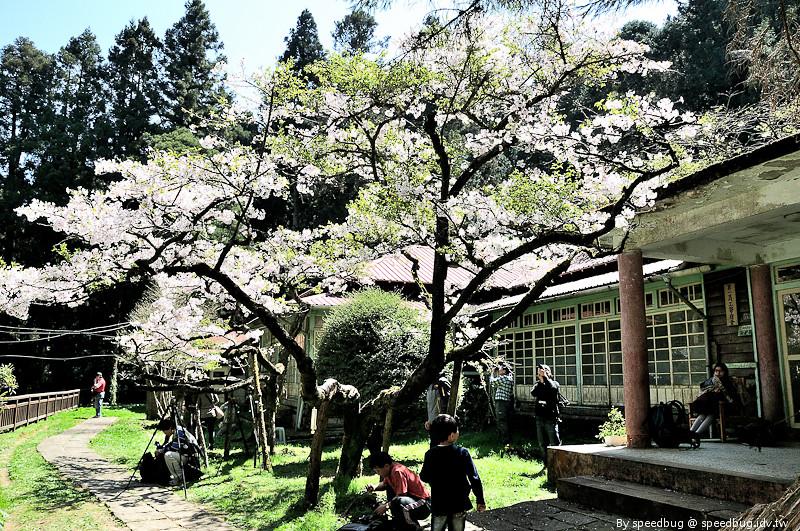 阿里山櫻花105