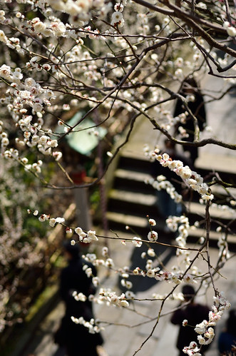 Full-bloomed plum tree.