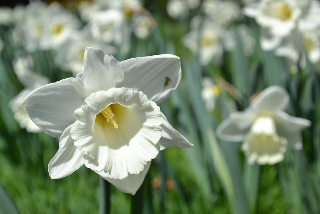 Narcissus 'Mount Hood'  on Daffodil Hill, an example of a trumpet (Division 1) daffodil. Photo by Elizabeth Peters.