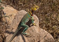 green lizard(0.0), lacerta(0.0), agama(1.0), animal(1.0), reptile(1.0), lizard(1.0), fauna(1.0), lacertidae(1.0), dactyloidae(1.0), iguana(1.0), scaled reptile(1.0), wildlife(1.0),