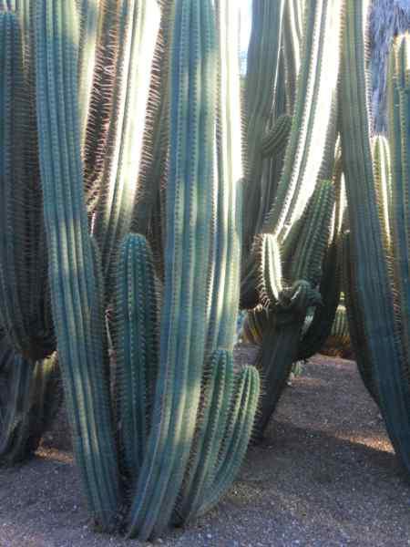 Ferocactus peninsulae v 1