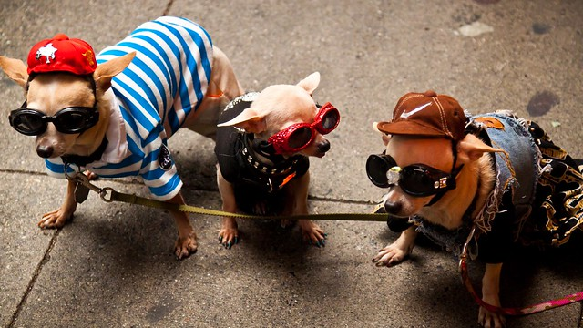 Very Funny Dogs Dressed up Chihuahuas