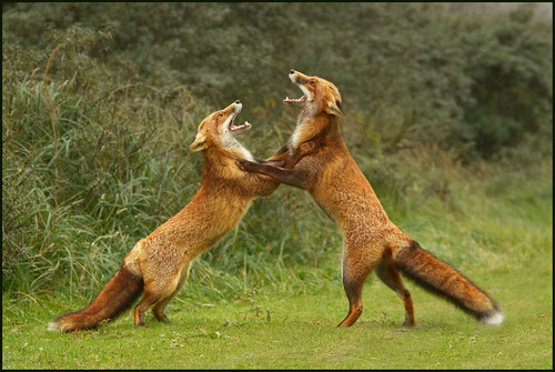 Fox fight