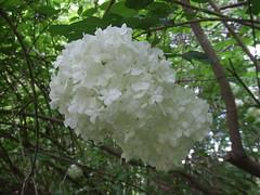 flower, branch, guelder rose, flora, viburnum,