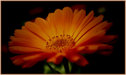 Flower - Orange Chrysanthemum