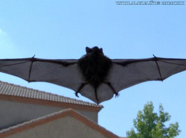 Bat flight. El vuelo del murciélago