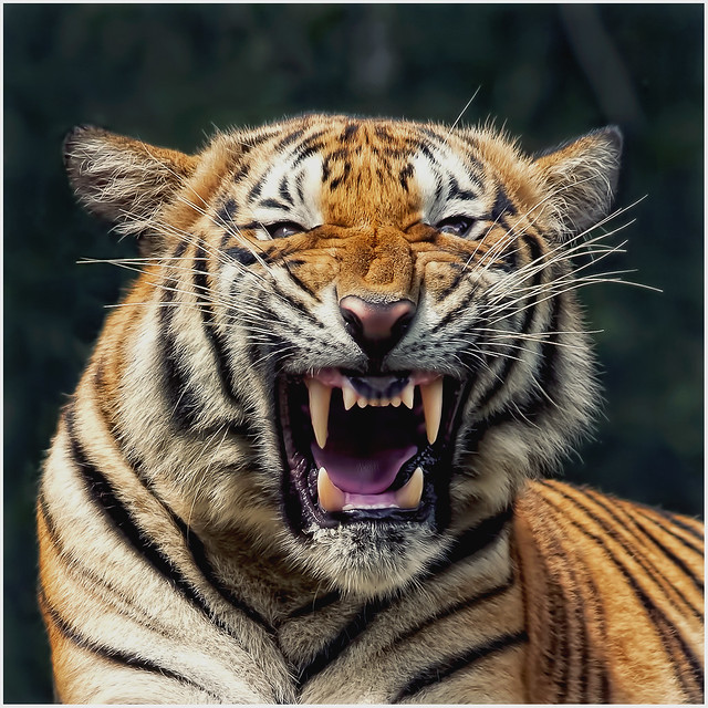 a research on the tiger subspecies Tiger subspecies essay, research paper tiger subspeciesi am here composing a study on the sub species of liberation tigers of tamil eelams many of these.