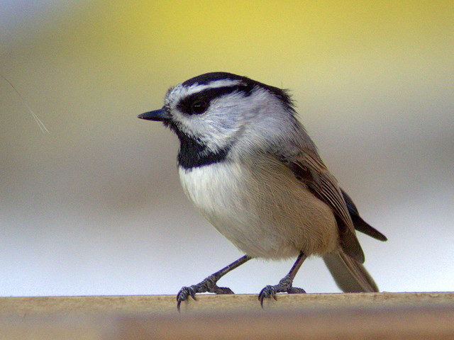 Mountain Chickadee 20111112