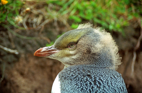 Yellow-eyed Penguin by LimeWave Photo