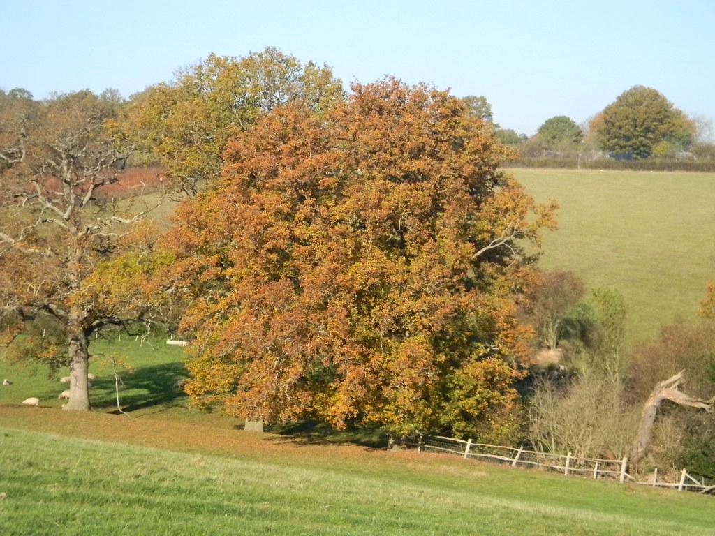 Resplendent oak Cowden (short) Circular