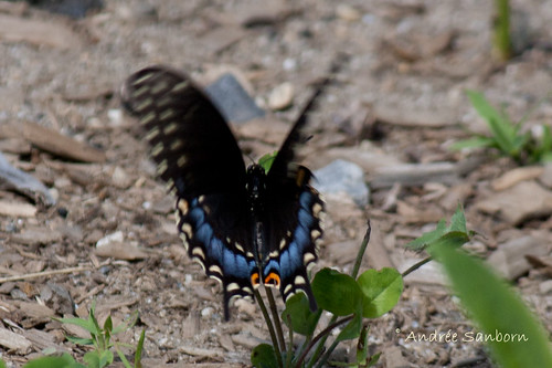 Eastern Black Swallowtail female (Papilio polyxenes)-2.jpg