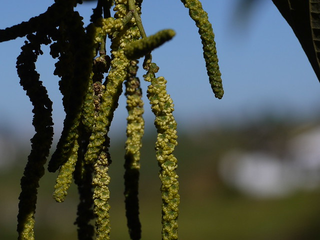 Header of Alnus nepalensis