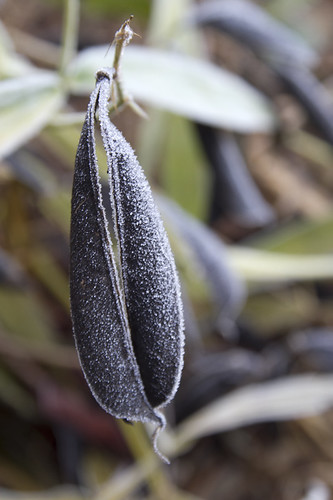 frosted seed pod