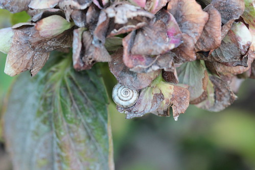 snail in the hydrangea