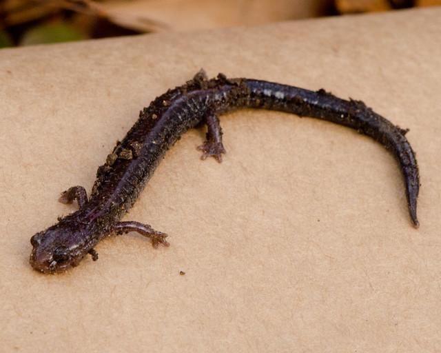 salamander_1