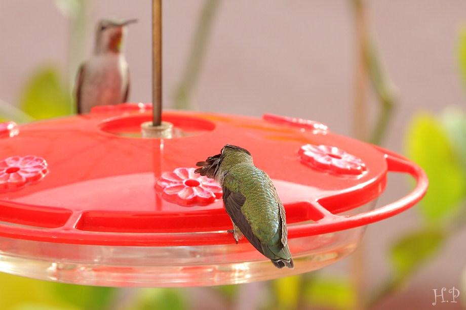 Anna's Hummingbird 112911-4