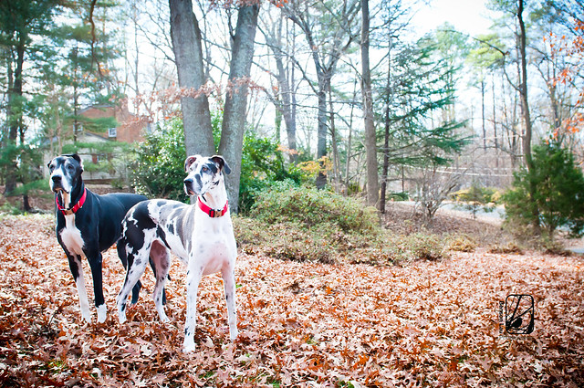 Their family dog is big to say the least! They have Great Danes! The big dogs were fun to photograph and play with during our holiday photography session in Richmond, Virginia. Taken by Benson Lau Photography.
