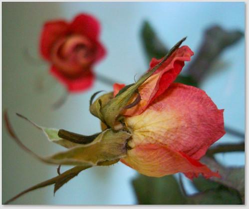 Roses fanée width=