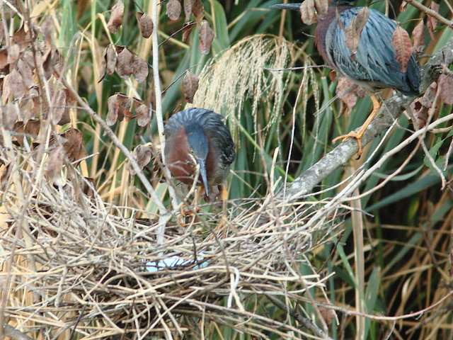 Green Heron pair exchanging incubation duty 3-20120325