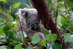 animal, branch, mammal, koala, fauna, jungle, wildlife,