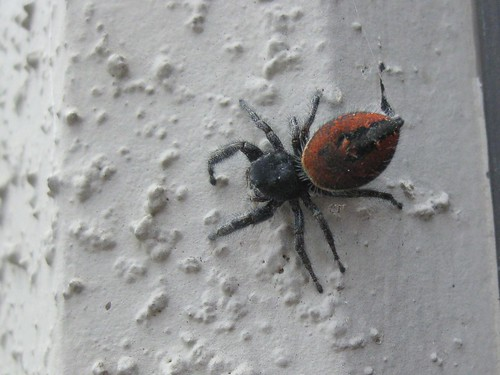 Red-backed Jumping Spider 3