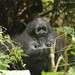 Gorilas en Uganda by No me robaras la niñez