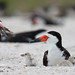 Black Skimmer Parent returning with fish