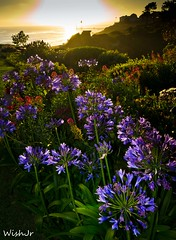 Agapanthus at Sunset