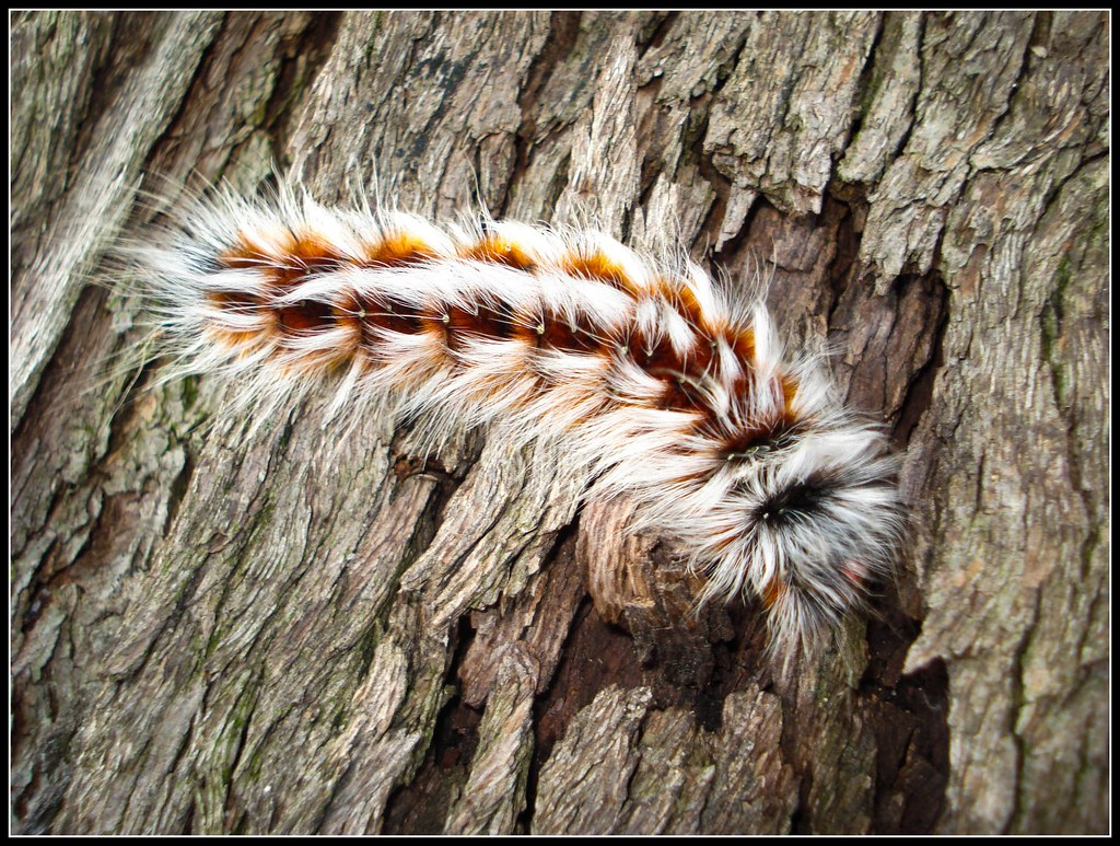 Hairy Mary Caterpillar Anthela Varia Marc Russo Flickr