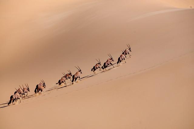 Oryxes Climbing Dune