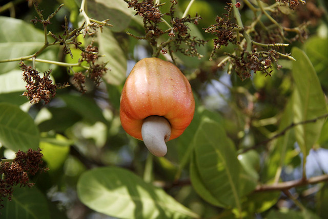 Cashew fruit Red