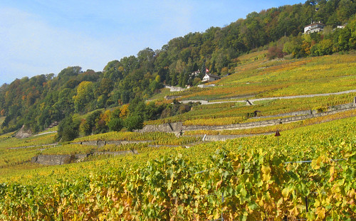 Vignoble dore au dessus de Lausanne... Golden vineyards near Lausanne,Switzerland
