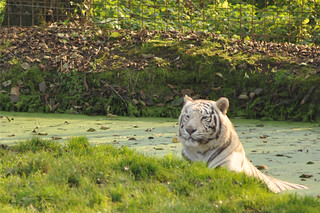 A day at the zoo - White Tiger