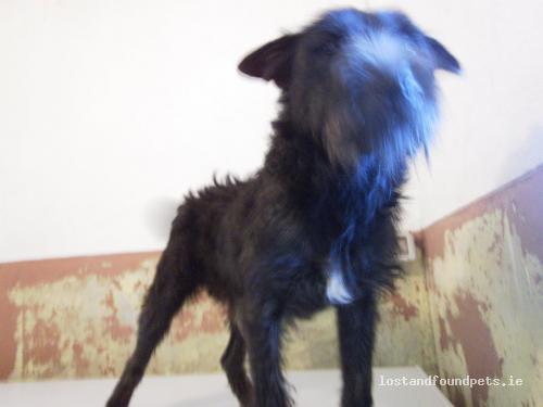 [Surrendered to Rescue] Fri, Nov 4th, 2011 Found Male Dog - Mountnugent, Dog Pound, Crossdoney, Cavan
