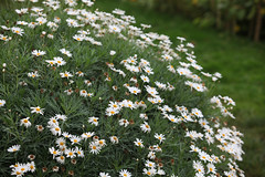 flower, garden, plant, marguerite daisy, nature, chamaemelum nobile, tanacetum parthenium, daisy, wildflower, flora, oxeye daisy, meadow, lawn, daisy,