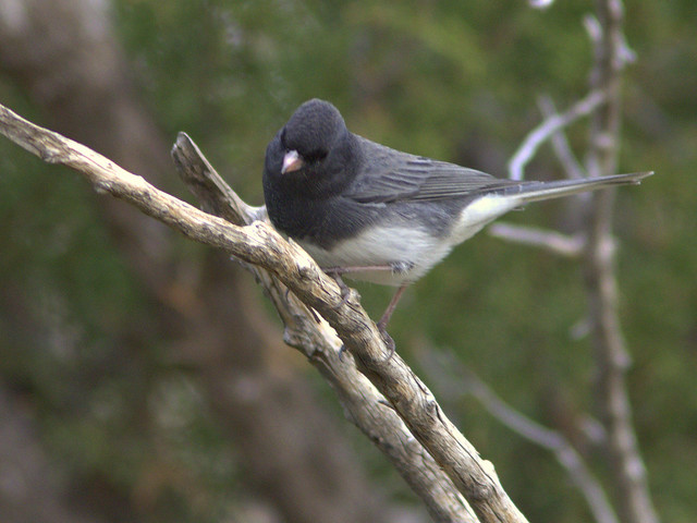 Slate-colored Dark-eyed Junco 20111112