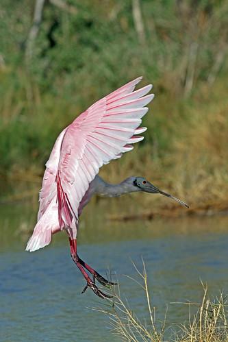 birds texas roseatespoonbill knuthansen