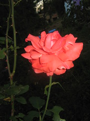 Cveće - Flowers