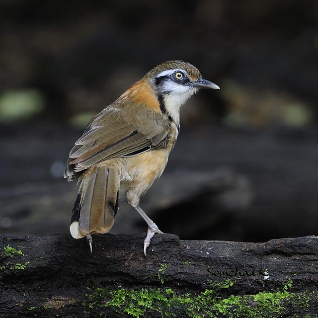 Lesser Necklaced Laughingthrush Bird Photo Call And Song Garrulax Monileger Cinclosoma Monilegera Sic
