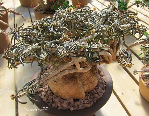Euphorbia cylindrifolia ssp. tuberifera Rauh