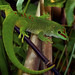Madagascar Day Gecko by Supervliegzus