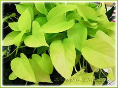 Epipremnum aureum 'Neon' (Pothos, Devil's Ivy, Money Plant)