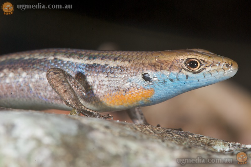 Blue-throated rainbow skink (Carlia rhomboidalis)