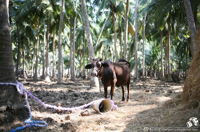 Brown Cow/పుల్లావు