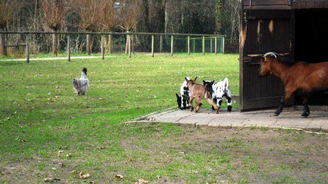 daar loopt een gekke geit....