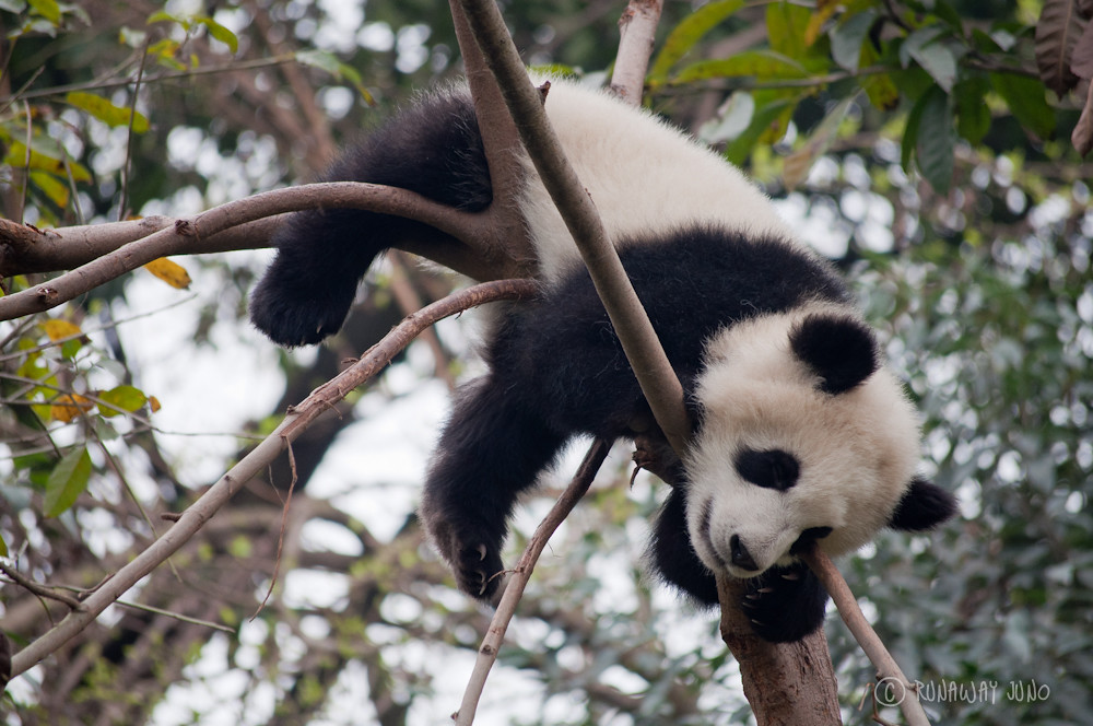 Cup_Panda_Sleeping_On_the_tree_Chengdu_Sichuan_China